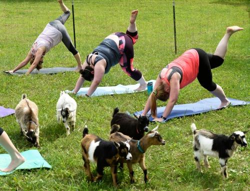 Goat Yoga – event firmowy w nowatorskim stylu
