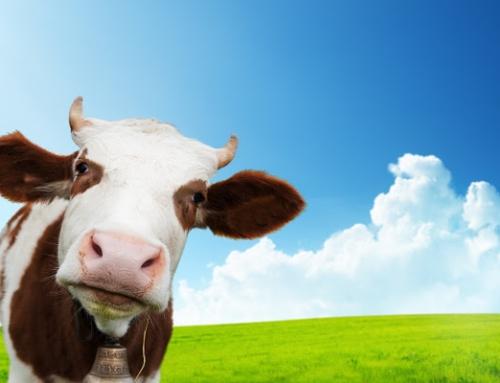 Dojenie krowy na imprezie plenerowej w mieście – jak to zrobić?